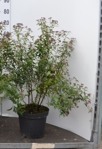 Spirea japonica 'Anthony Waterer'