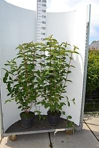 Sierheester Weigela hoogte 100-125 cm (C7,5)