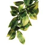 Shrub Plant Mandarin