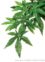 Silk Plant Abutilon